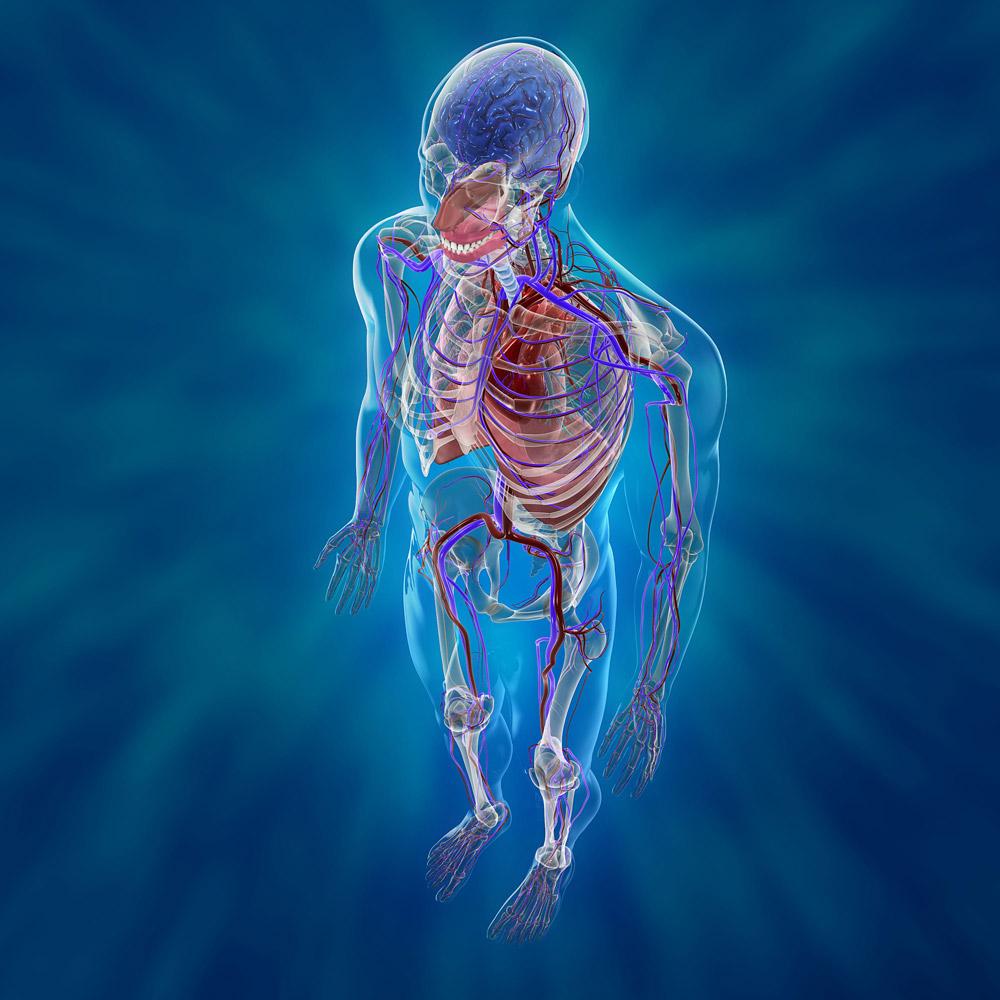 Sistema Cardiovascular Humano Renders 3D Animation