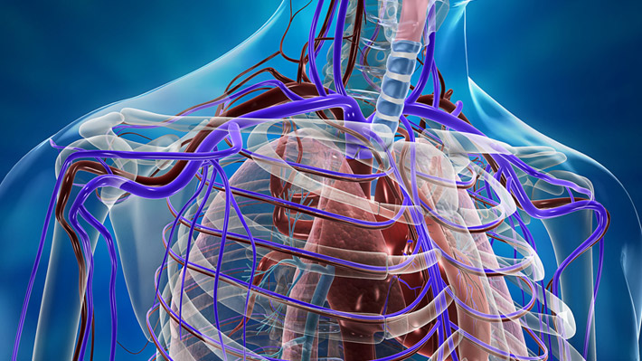 Human Cardiovascular System – 3D medical illustrations